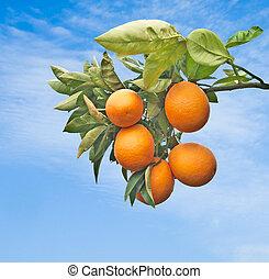 árbol, naranjas