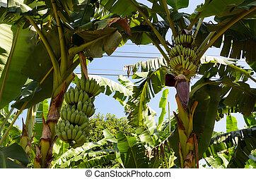 árbol, plátano