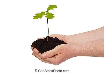 árbol, roble, joven