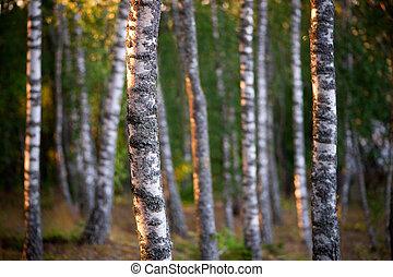 árboles, abedul