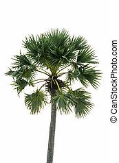 árboles de palma, aislado