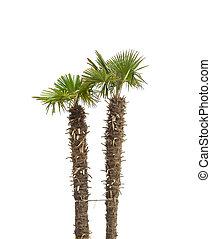 árboles de palma, isolated.