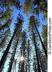 árboles de pino, con, sol