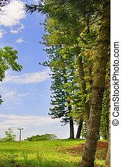 árboles de pino, detalle