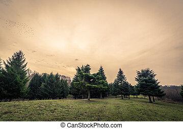 árboles de pino, en, amanecer, en, el, otoño