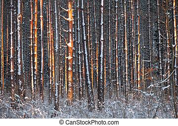 árboles de pino, en, invierno