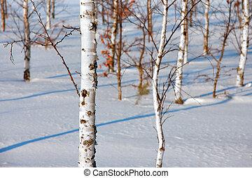 árboles del abedul, en, invierno