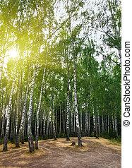 árboles del abedul, en, un, verano, bosque, debajo, sol