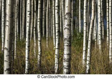árboles del abedul, en, verano, paisaje