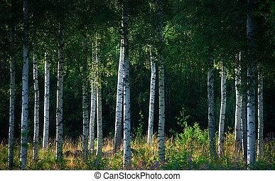árboles del abedul