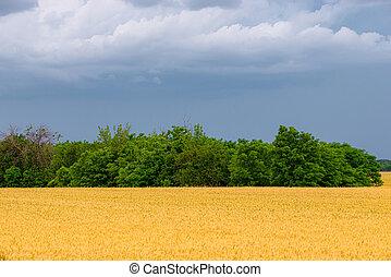 árboles, fila, dorado, antes, cielo, trigo, pesado, campo, tormenta