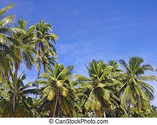 árboles, isla, (malolo), plantación, palma, fiji