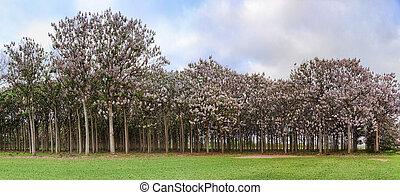 árboles, primavera, durante, paulownia, flor