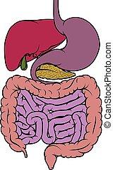 área, diagrama, human, entranha, gastrointestinal, anatomia