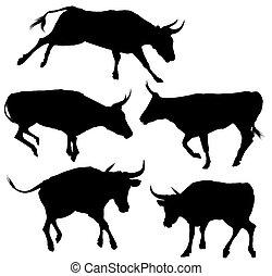 árnykép, gyűjtés, bika