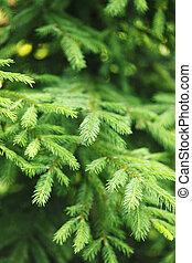 árvore abeto