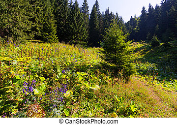 árvore abeto, em, a, floresta, em, verão