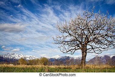 árvore abricó, florescer, em, um, paisagem montanha