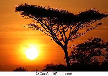 árvore acacia, pôr do sol, serengeti, áfrica
