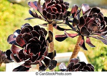 árvore, aeonium, aeonium, arboreum, planta suculento, sob, a, sol