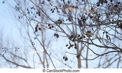 árvore alder, ramo, brotos, balançando, vento, paisagem...
