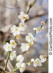 árvore ameixa, flor, flor