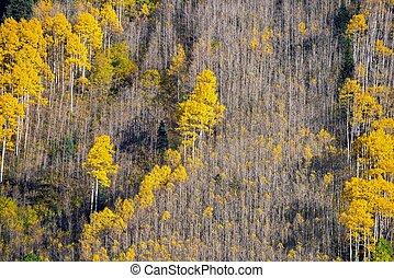árvore aspen, foliage
