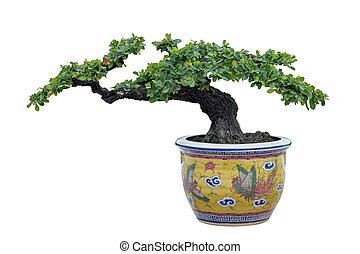 árvore bonsai, contra, um, parede branca