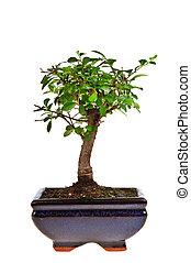 árvore bonsai, isolado