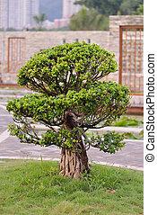árvore bonsai, jardim