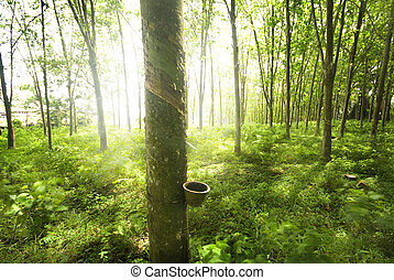 árvore borracha