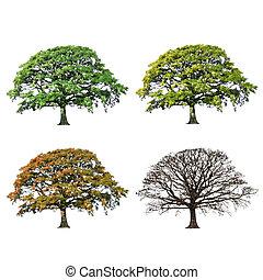 árvore carvalho, abstratos, quatro estações