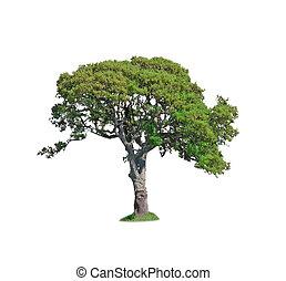 árvore carvalho, branco