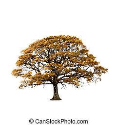 árvore carvalho, em, outono, abstratos