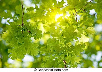 árvore carvalho, folhas, luz solar