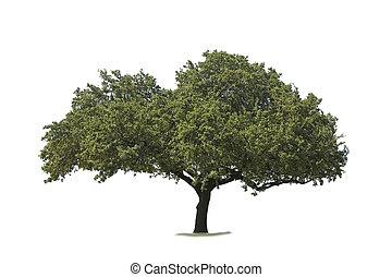 árvore carvalho, isolado, branco
