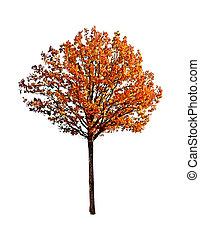 árvore carvalho, isolado, branco, fundo