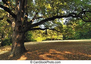 árvore, carvalho, parque