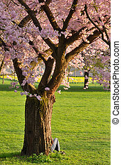 árvore cereja, em, um, parque