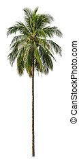 árvore coco, isolado, experiência., palma, branca, size., xxl
