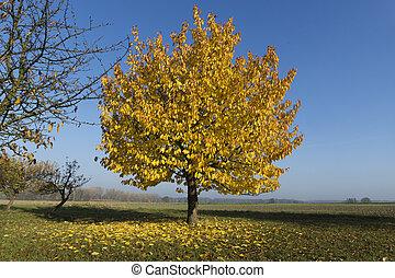 árvore, com, bonito, amarelo sai, em, outono