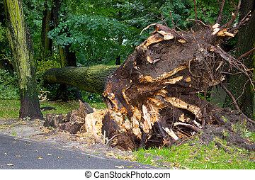 árvore desarraigada, após, tempestade, parque