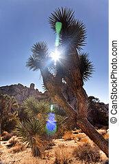 árvore, deserto, sol, p, brevifolia, joshua, chama, nacional...