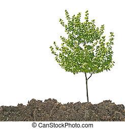 árvore, em, solo