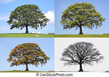 árvore, estações, quatro, carvalho