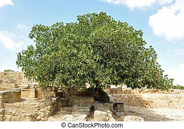 árvore, figo