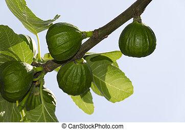 árvore figo, ramo