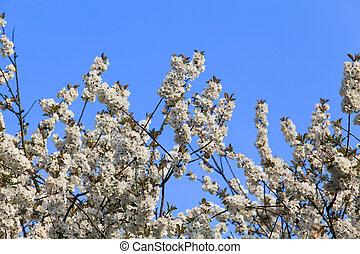 árvore, florescer, spring.