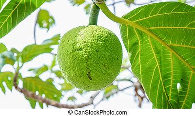 árvore, fruta-pão