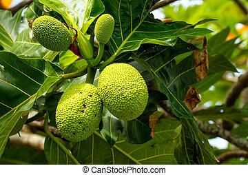 árvore, fruta-pão, frutas